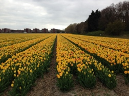 Noordwijk - field of yellow tulips