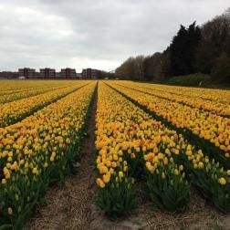 Noordwijk - field of yellow tulips