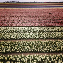 Noordwijkerhout - field of various flowers