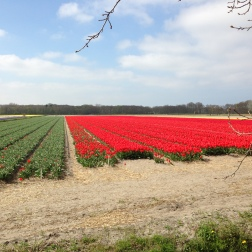 Noordwijkerhout - beautiful red tulip field