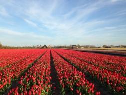 Noordwijk - red tulip fields
