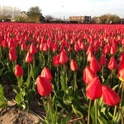 Noordwijk - tulips