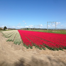 De Zilk - red and white tulip fields